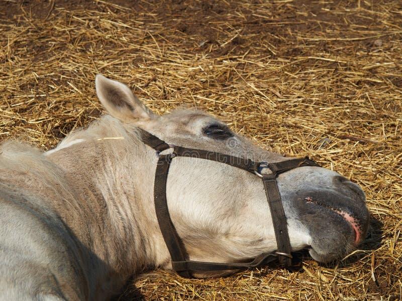 Hästen sover på höet royaltyfri bild