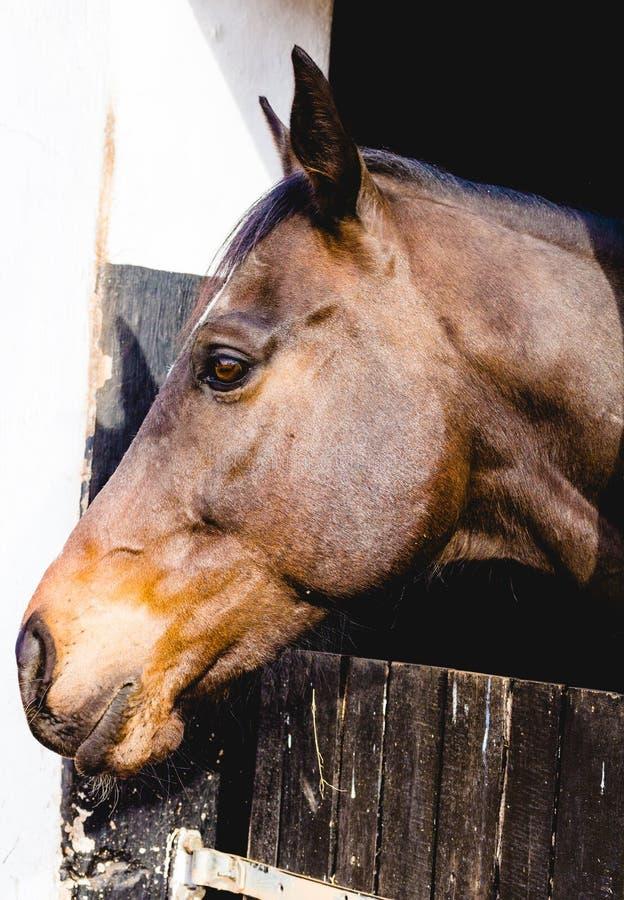 Hästhuvud som ser över den stabila dörren - foto för sidosikt arkivfoto