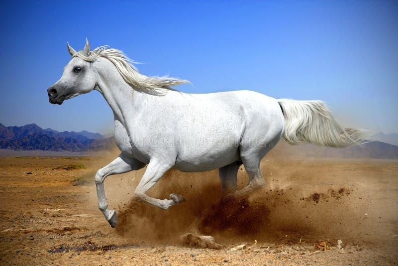 hästkörningsgalopp i dammöknen royaltyfri bild