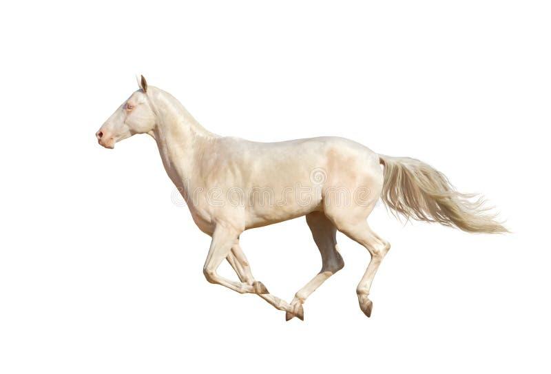 Hästkörningsgalopp på vit bakgrund arkivfoton