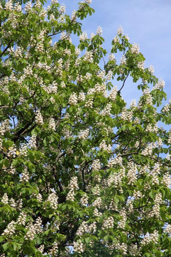 Hästkastanjen (Aesculushippocastanum, Conkerträdet) blommar att blomstra arkivfoto