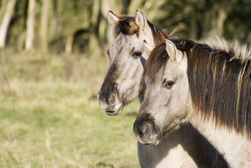 hästkonik två royaltyfria foton