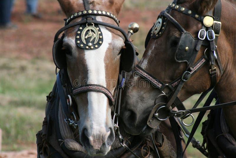 hästlag arkivbild