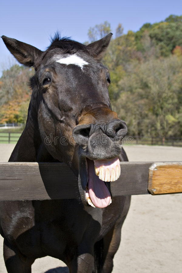 hästlaughter arkivfoton