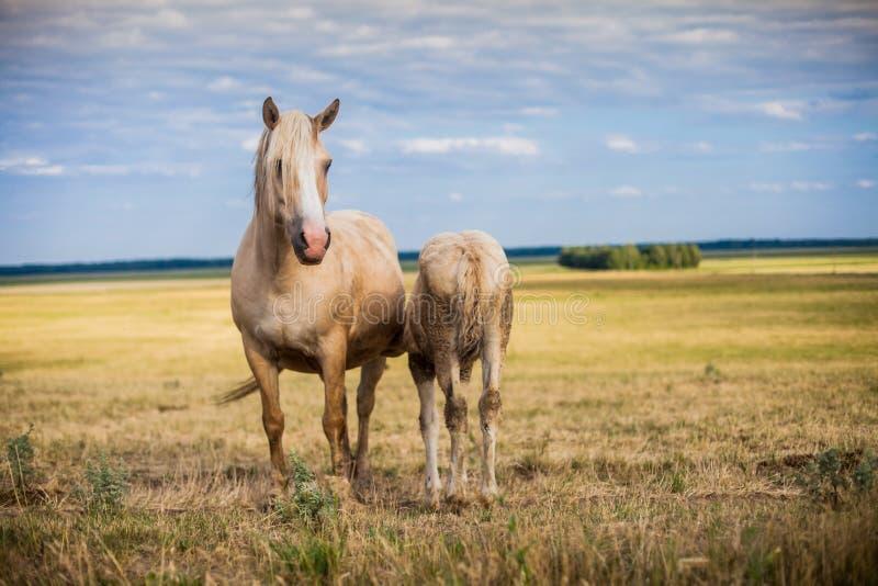 Hästmatningsfölet med mjölkar royaltyfria foton