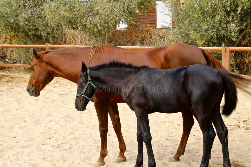 Hästmoder och hennes unga föl fotografering för bildbyråer