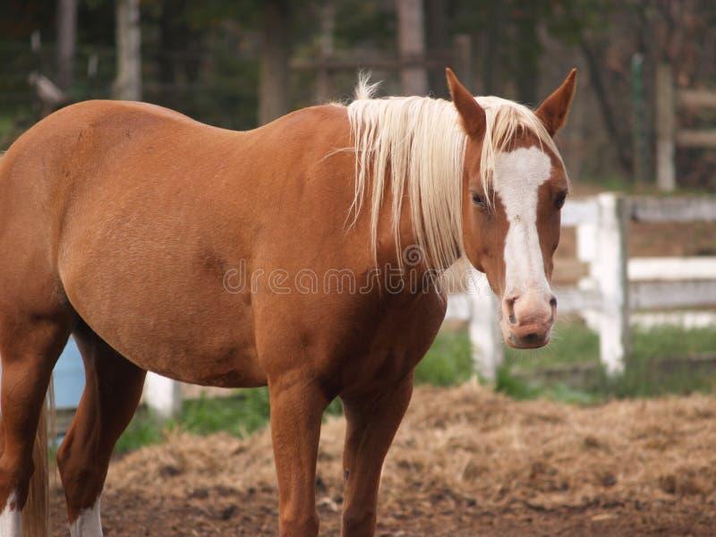 hästpalamino arkivbild