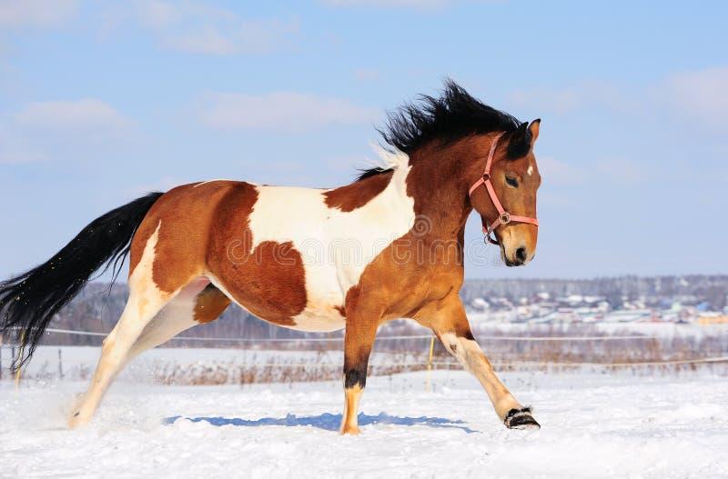 hästpinto fotografering för bildbyråer