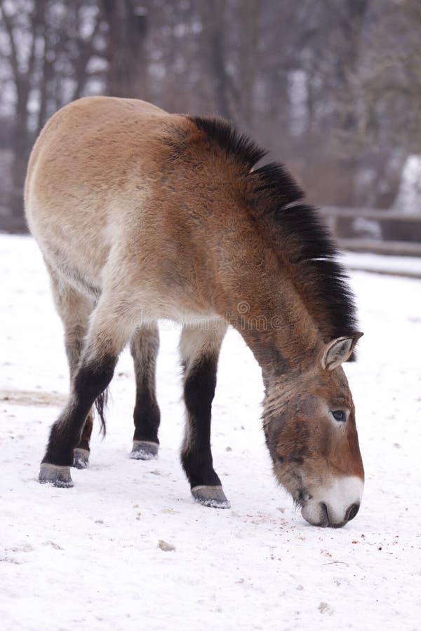 hästprzewalski royaltyfria bilder