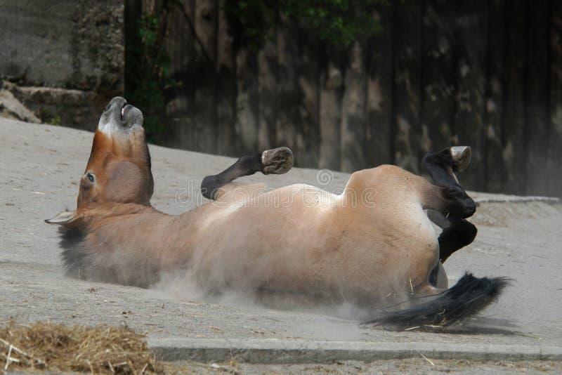 hästprzewalski s royaltyfri foto