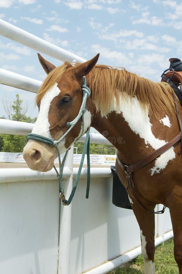 hästrodeovertical arkivfoton