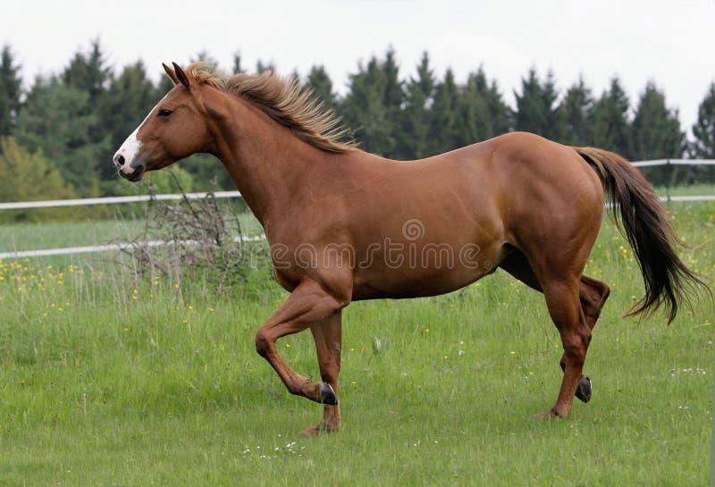 hästrunning royaltyfria foton