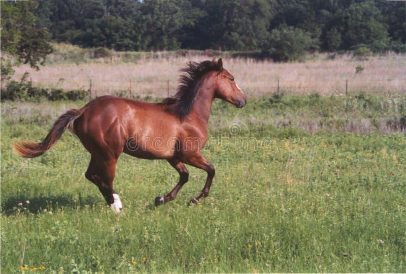 hästrunning royaltyfria bilder