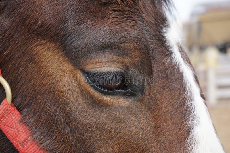 Hästs öga arkivbilder