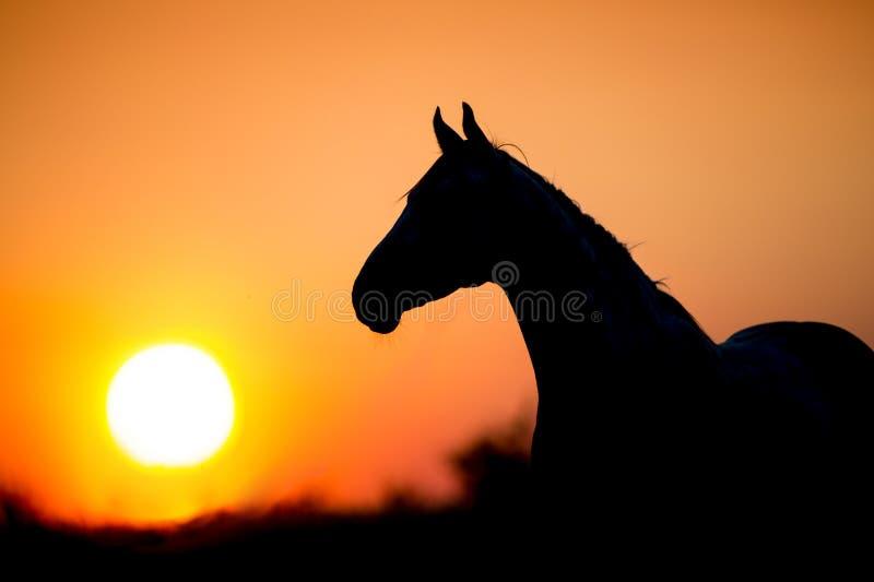 Hästsilhouette på solnedgången royaltyfria bilder
