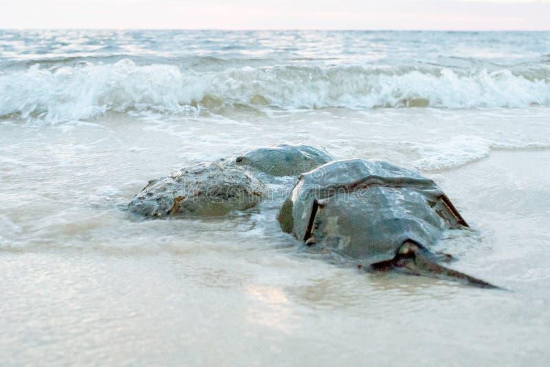 Hästskokrabbor som parar ihop på stranden royaltyfria bilder