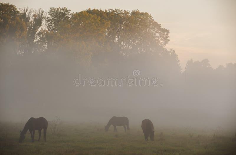 Hästskrubbsår i morgonmisten royaltyfri foto