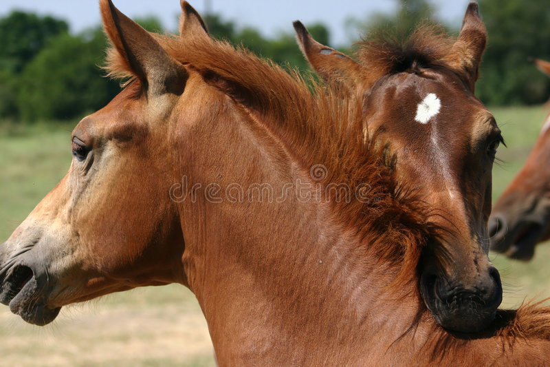 Download Hästspelrum fotografering för bildbyråer. Bild av hingst - 31373