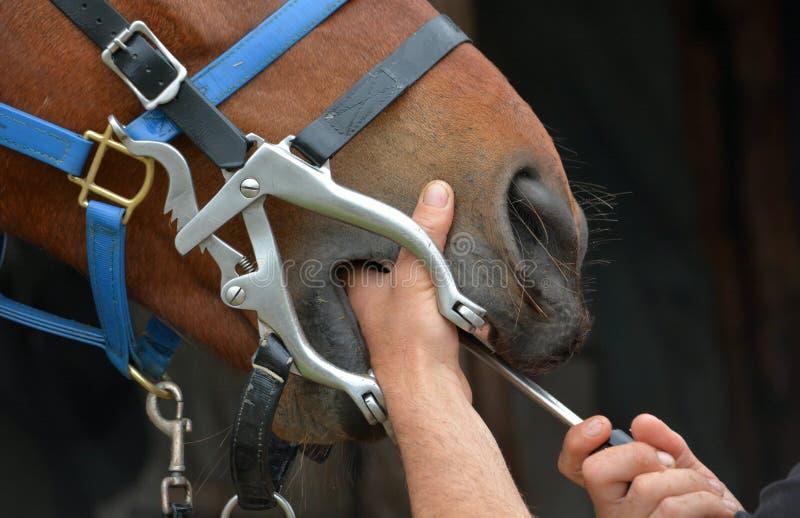 Hästtandläkare på arbete arkivfoto