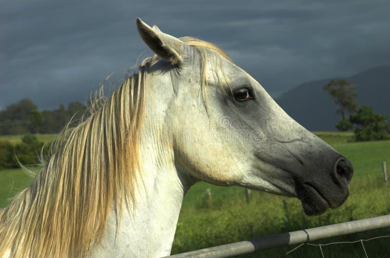 Download Hästwhite arkivfoto. Bild av solljus, häst, fält, mare - 501914