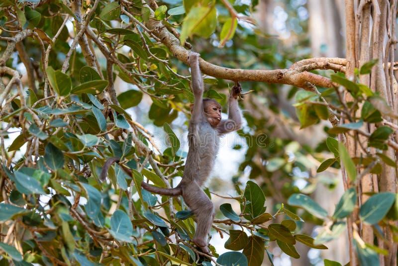 HättaMacaque som svänger i ett träd i bangalore Indien royaltyfria bilder