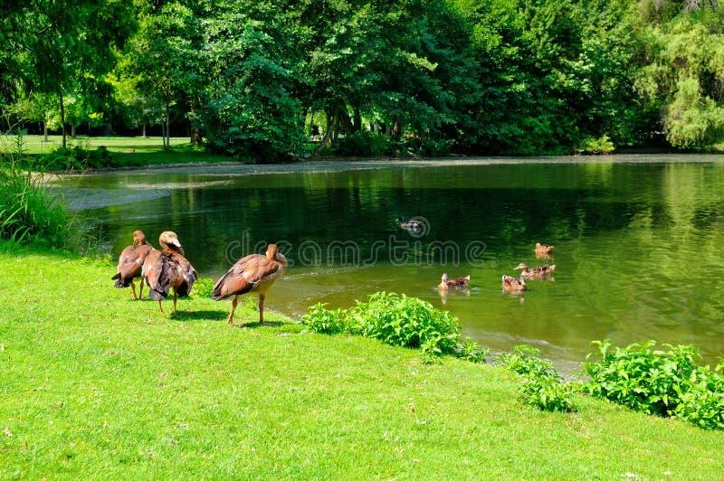 Häusliche Gänse am See im Stadtpark stockfotografie