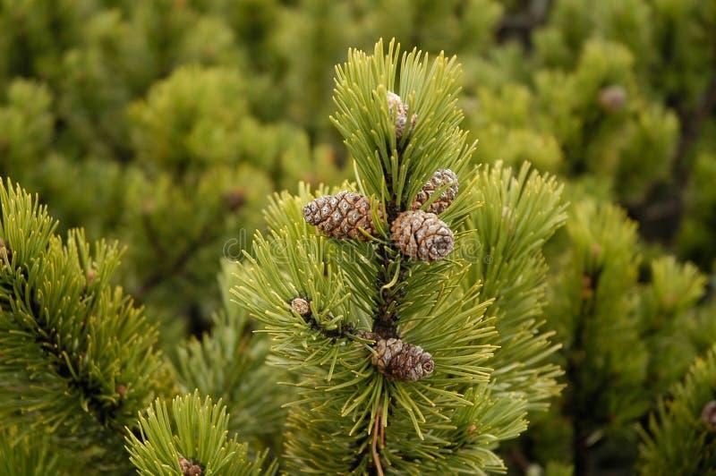 häxa för filialkottebarrträd royaltyfri bild