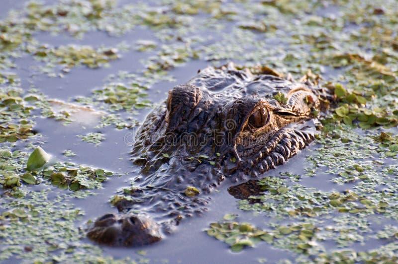 hålla ögonen på för alligator royaltyfria bilder