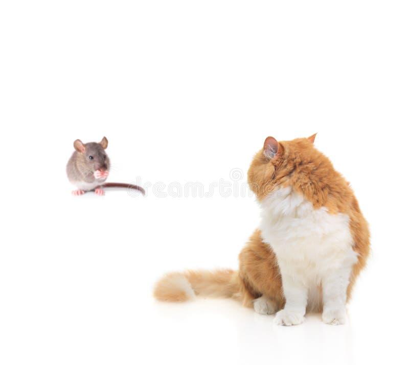 hålla ögonen på för kattmus royaltyfria bilder
