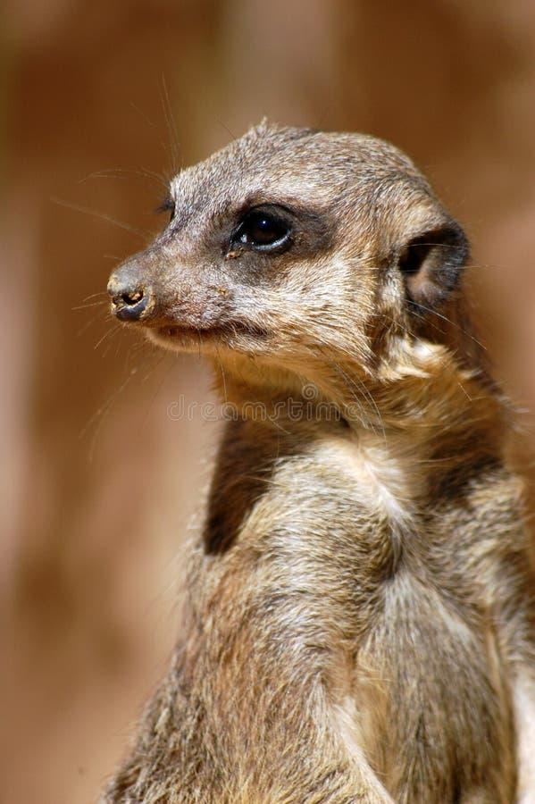 hålla ögonen på för suricata royaltyfri fotografi