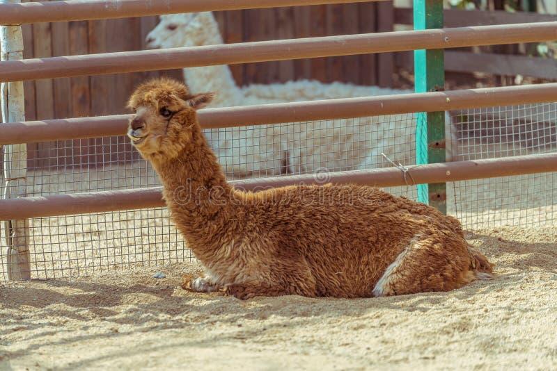 Hållande ögonen på alpaca arkivbild