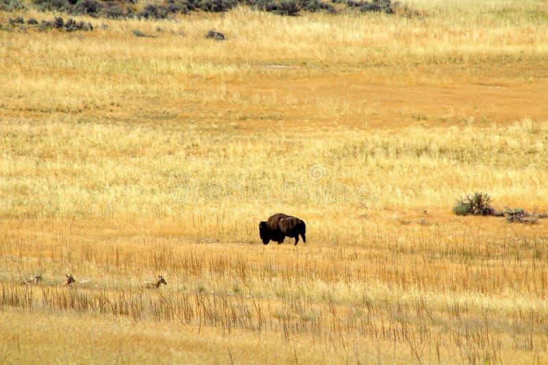 Hållande ögonen på buffel arkivfoton