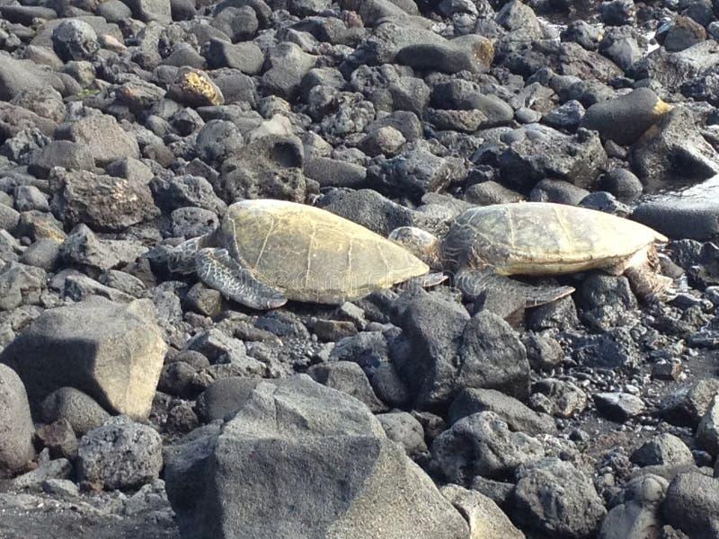 Hållande ögonen på havssköldpaddor vaggar på stranden Hawaii arkivbild