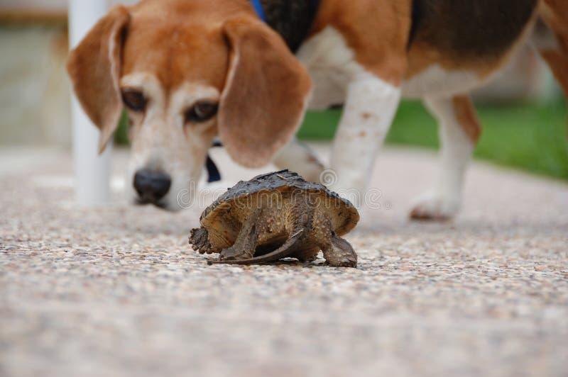 Hållande ögonen på sköldpadda för beagle arkivbild