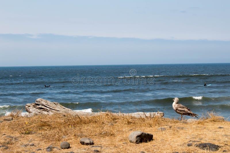 Hållande ögonen på surfare för Seagull på den sjösidaOregon stranden royaltyfri bild