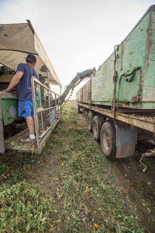 Hållande ögonen på transportband för arbetare på tomatskördearbetaren, Spanien fotografering för bildbyråer