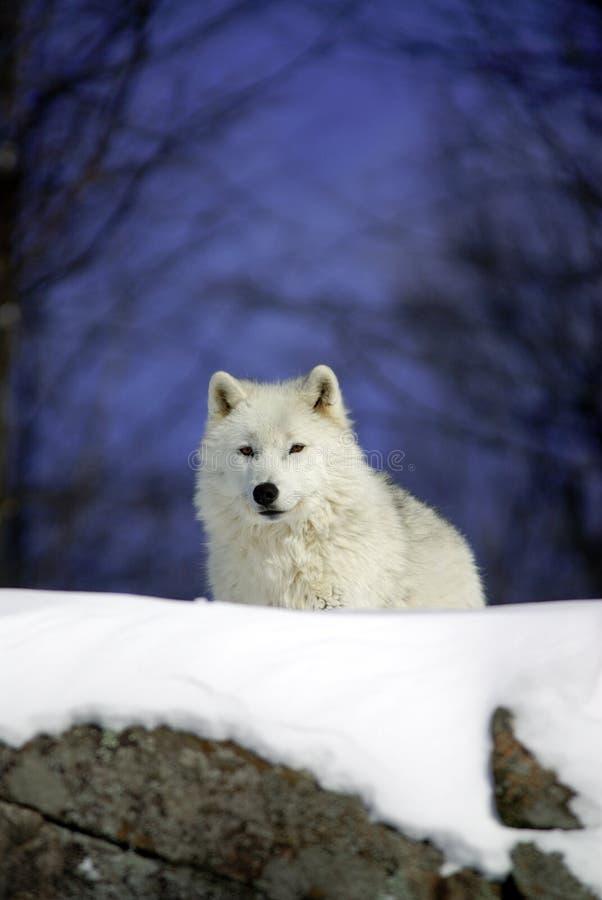 hållande ögonen på wolf för arktisk snow royaltyfri fotografi