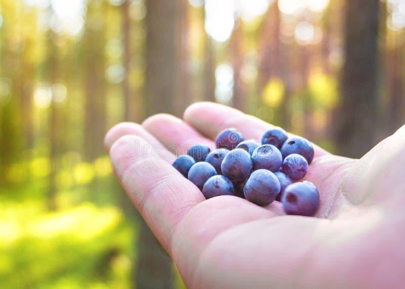 Hållande blåbär för kvinna i hand i skog royaltyfri bild
