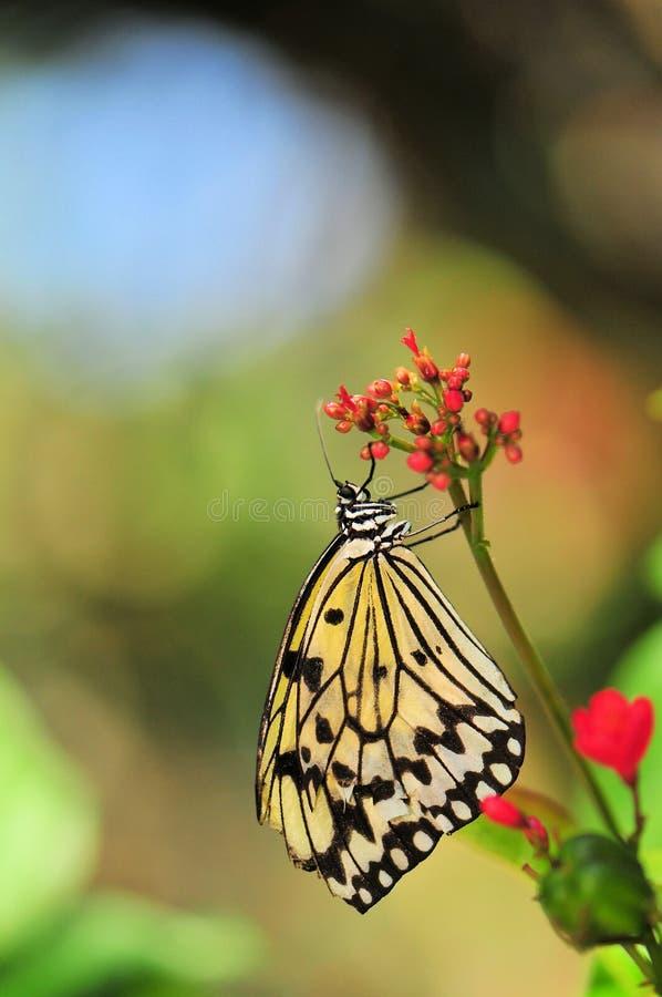 Hållande bukett för Ceylon Träd-nymf fjäril arkivbild