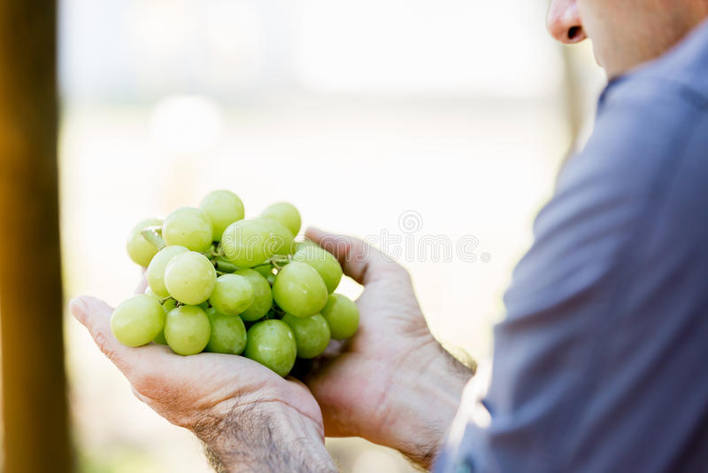 Hållande druvor för man i vingården royaltyfri foto