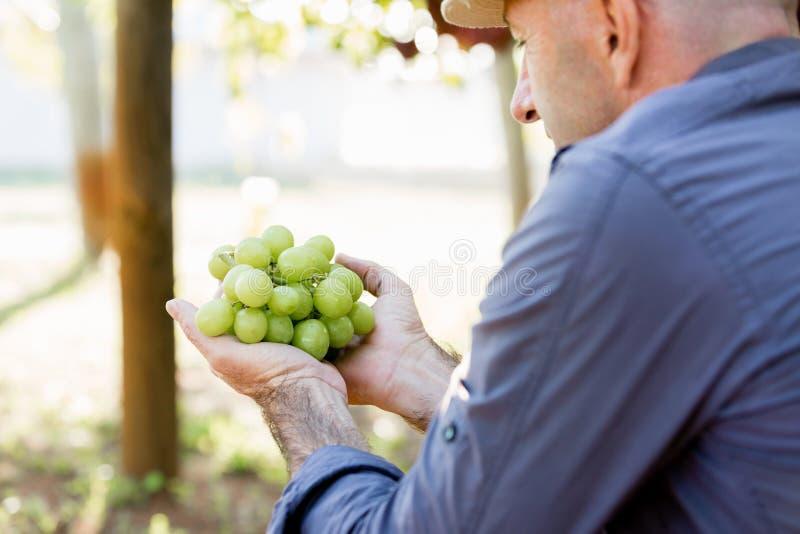Hållande druvor för man i vingården royaltyfri bild