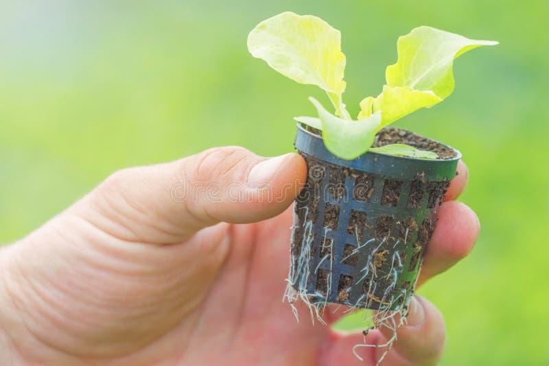 Hållande grönsallatplanta för händer i ett växthus Hydroponic lantgård för grönsallat arkivbild