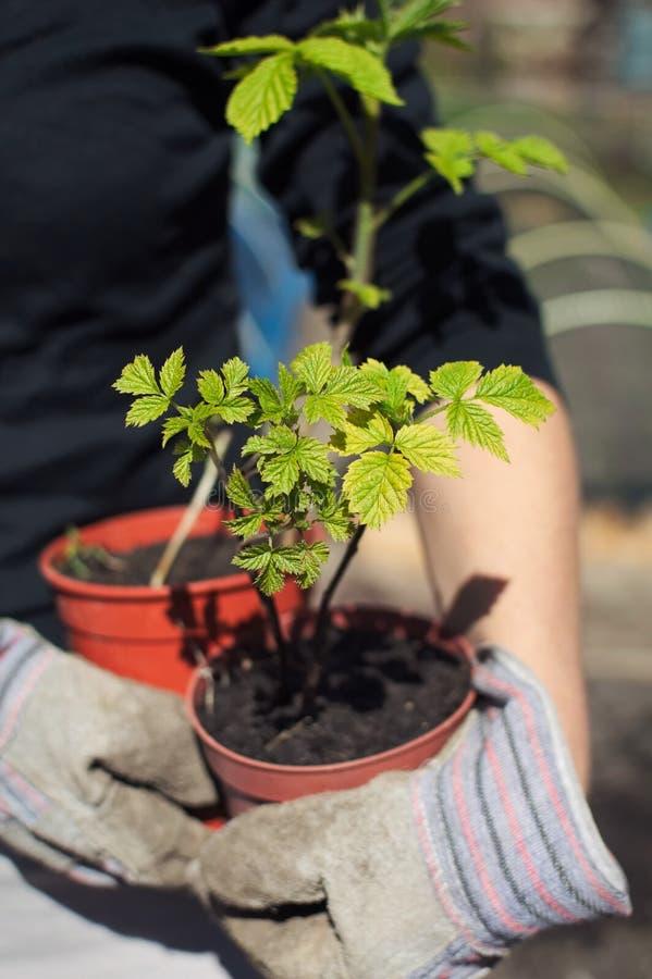 Hållande hallonväxter royaltyfria bilder