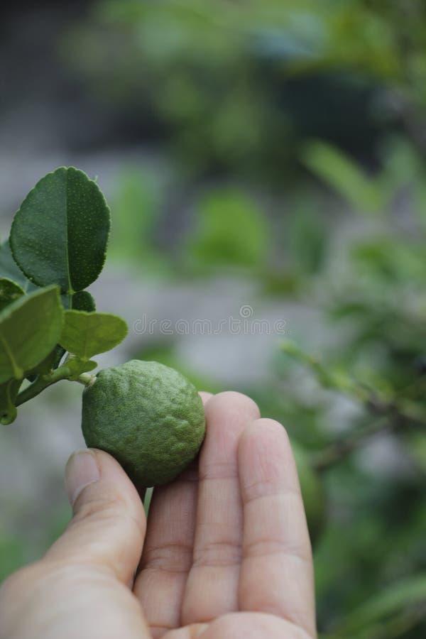 Hållande kaffirlimefrukt för hand fotografering för bildbyråer