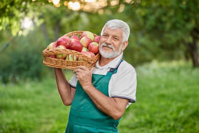 Hållande korg för skäggig bonde med äpplen på skuldra royaltyfria bilder