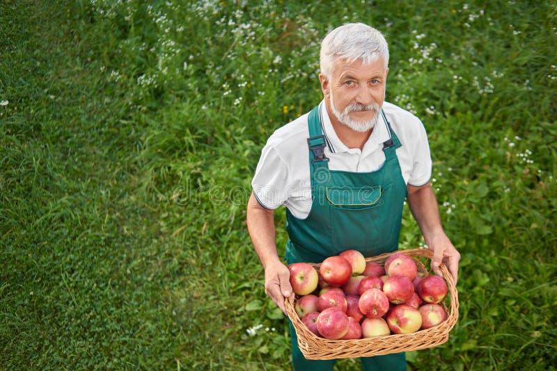 Hållande korg för trädgårdsmästare som är full av nytt rött äpplen och anseende på nåd royaltyfria foton