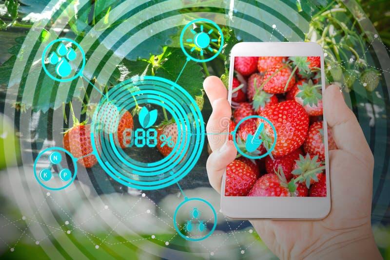 Hållande mobiltelefon för hand som kontrollerar nya jordgubbar i jordbrukträdgård med begreppsteknologier arkivfoton