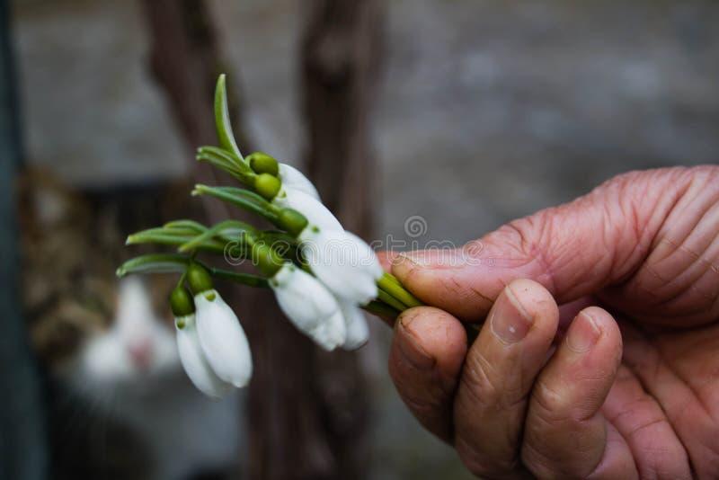 Hållande snödroppar för hand fotografering för bildbyråer