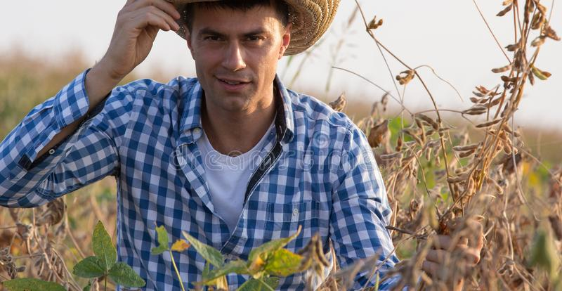 Hållande sojabönastammar för bonde i fält arkivbilder