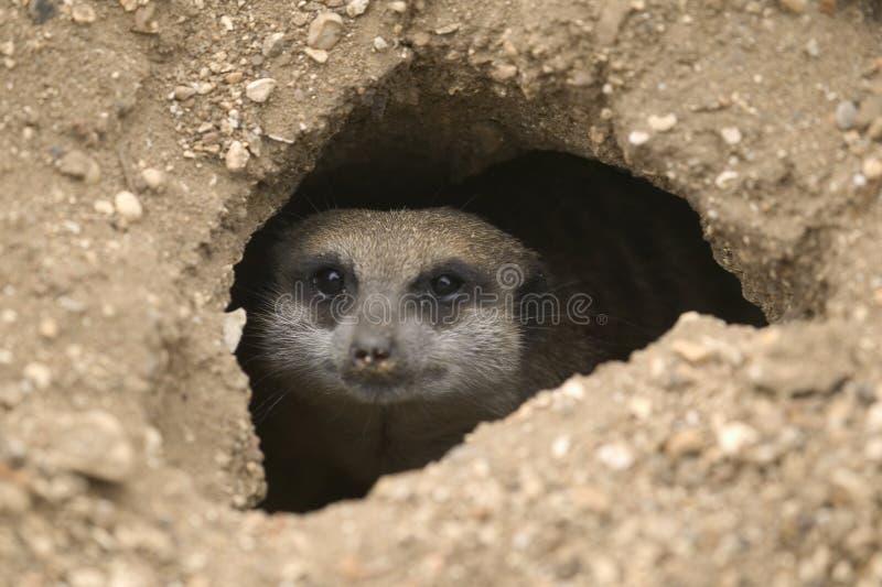 hålmeerkat arkivfoto